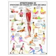 Anatomia człowieka Stretching III ćwiczenia poster 70x100cm język angielski Rudiger Anatomie - 1 | klubfitness.pl | sprzęt sport