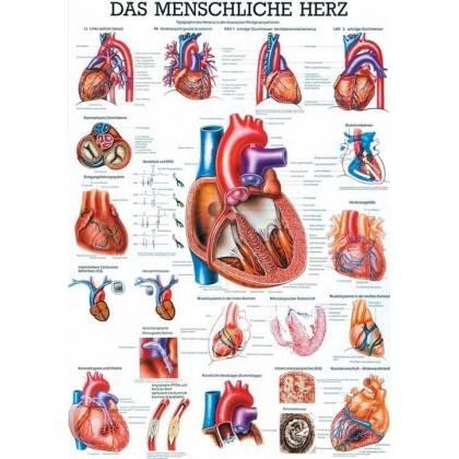 Anatomia człowieka SERCE CZŁOWIEKA poster 70x100cm język niemiecki Rudiger Anatomie - 1   klubfitness.pl