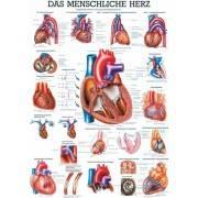 Anatomia człowieka SERCE CZŁOWIEKA poster 70x100cm język niemiecki Rudiger Anatomie - 1 | klubfitness.pl