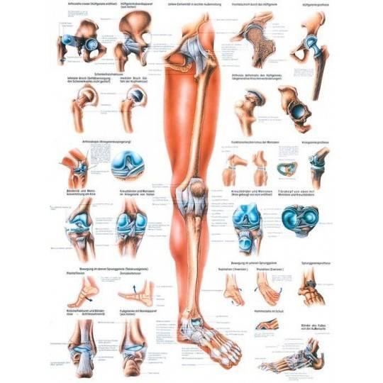 Anatomia człowieka KOŃCZYNA DOLNA CZŁOWIEKA poster 70x100cm język angielski Rudiger Anatomie - 1 | klubfitness.pl | sprzęt sport
