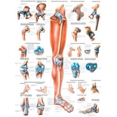 Anatomia człowieka KOŃCZYNA DOLNA CZŁOWIEKA poster 70x100cm język angielski,producent: Rudiger Anatomie, zdjecie photo: 1   onli
