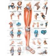 Anatomia człowieka KOŃCZYNA DOLNA CZŁOWIEKA poster 70x100cm język angielski Rudiger Anatomie - 1 | klubfitness.pl