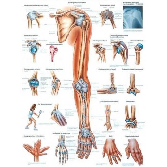 Anatomia człowieka KOŃCZYNA GÓRNA CZŁOWIEKA poster 70x100cm,producent: RUDIGER ANATOMIE, photo: 1