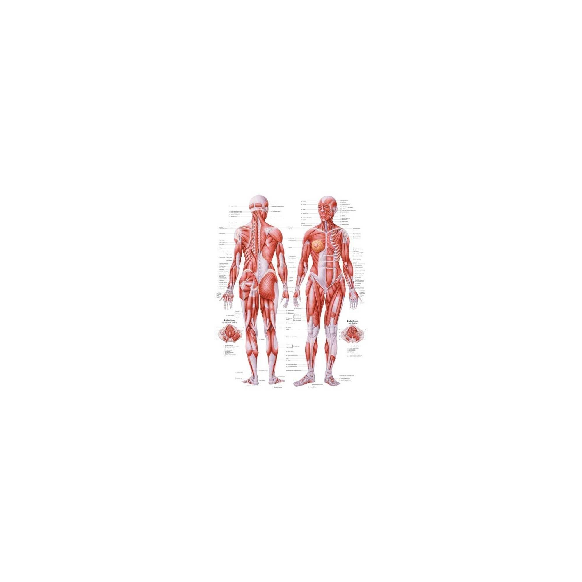 Anatomia człowieka UKŁAD MIĘŚNIOWY KOBIETY poster 70 x 100 cm Rudiger Anatomie - 1 | klubfitness.pl | sprzęt sportowy sport equi