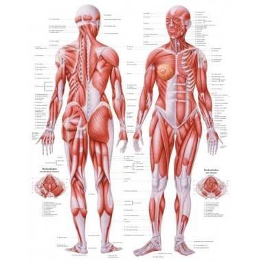 Anatomia człowieka UKŁAD MIĘŚNIOWY KOBIETY poster 70 x 100 cm,producent: RUDIGER ANATOMIE, photo: 1