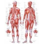 Anatomia człowieka UKŁAD MIĘŚNIOWY KOBIETY poster 70 x 100 cm,producent: Rudiger Anatomie, zdjecie photo: 1 | online shop klubfi