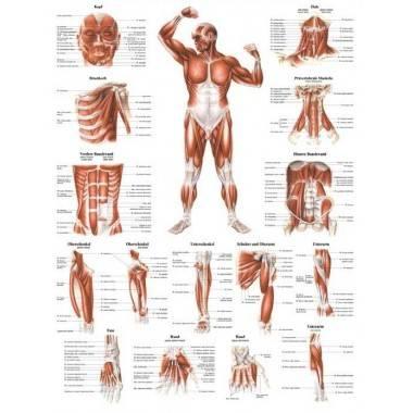 Anatomia człowieka UKŁAD MIĘŚNIOWY MĘŻCZYZNY PRZÓD poster 70x100cm,producent: RUDIGER ANATOMIE, photo: 1
