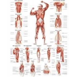Anatomia człowieka UKŁAD MIĘŚNIOWY MĘŻCZYZNY TYŁ poster 70x100cm Rudiger Anatomie - 1 | klubfitness.pl