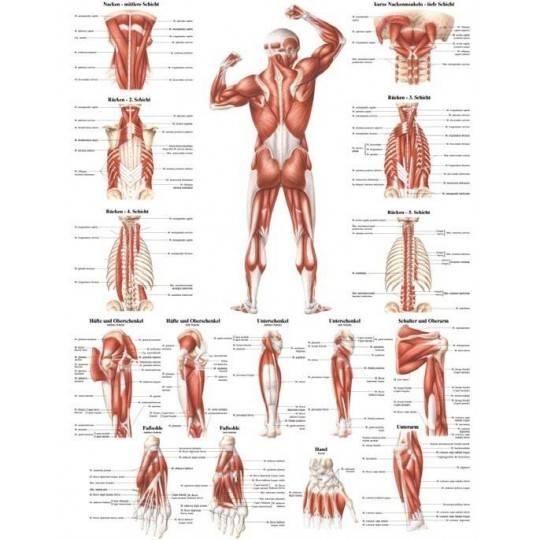 Anatomia człowieka UKŁAD MIĘŚNIOWY MĘŻCZYZNY TYŁ poster 70x100cm,producent: Rudiger Anatomie, zdjecie photo: 1 | online shop klu