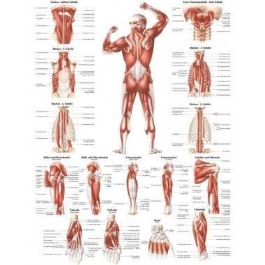 Anatomia człowieka UKŁAD MIĘŚNIOWY MĘŻCZYZNY TYŁ poster 70x100cm,producent: RUDIGER ANATOMIE, photo: 1