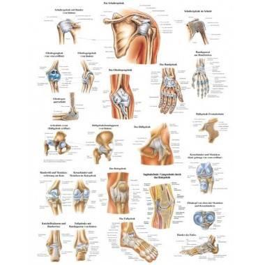 Anatomia człowieka STAWY I WIĘZADŁA CZŁOWIEKA poster 70x100cm język angielski,producent: Rudiger Anatomie, zdjecie photo: 1 | on