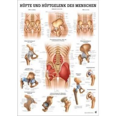 Anatomia człowieka BIODRO I STAW BIODROWY CZŁOWIEKA poster 70x100cm,producent: RUDIGER ANATOMIE, photo: 1