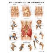 Anatomia człowieka BIODRO I STAW BIODROWY CZŁOWIEKA poster 70x100cm Rudiger Anatomie - 1 | klubfitness.pl | sprzęt sportowy spor