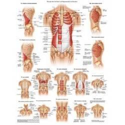 Anatomia człowieka MIĘŚNIE BRZUCHA I ŻEBER MĘŻCZYZNY poster 50x70cm Rudiger Anatomie - 1 | klubfitness.pl