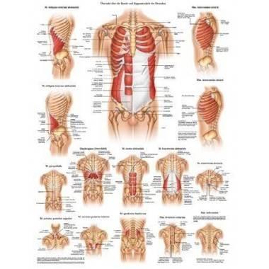 Anatomia człowieka MIĘŚNIE BRZUCHA I ŻEBER MĘŻCZYZNY poster 50x70cm,producent: Rudiger Anatomie, zdjecie photo: 1   online shop