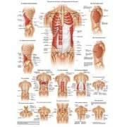 Anatomia człowieka MIĘŚNIE BRZUCHA I ŻEBER MĘŻCZYZNY poster 50x70cm,producent: Rudiger Anatomie, zdjecie photo: 1 | online shop