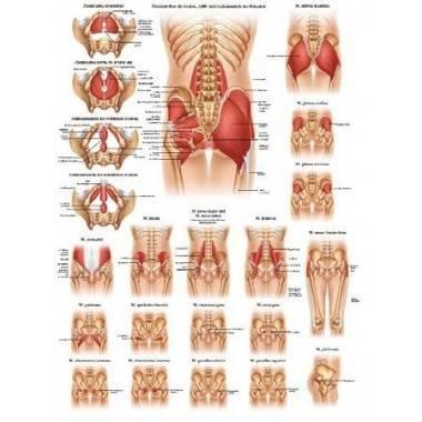 Anatomia człowieka MIĘŚNIE MIEDNICY BIODER POŚLADKÓW poster 50 x 70 cm,producent: RUDIGER ANATOMIE, photo: 1