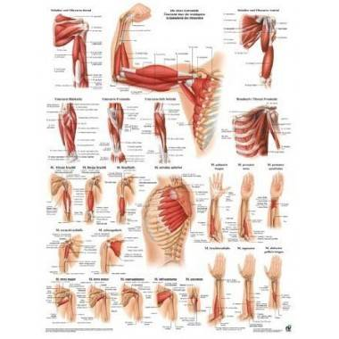 Anatomia człowieka MIĘŚNIE RAMIENIA poster 50x70cm,producent: Rudiger Anatomie, zdjecie photo: 1 | online shop klubfitness.pl |