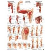 Anatomia człowieka MIĘŚNIE RAMIENIA poster 50x70cm,producent: Rudiger Anatomie, zdjecie photo: 1 | klubfitness.pl | sprzęt sport