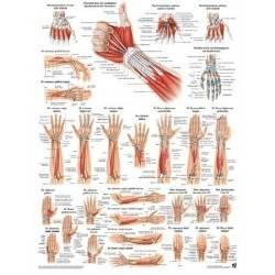 Anatomia człowieka MIĘŚNIE RĘKI poster 50x70cm Rudiger Anatomie - 1 | klubfitness.pl