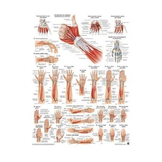Anatomia człowieka MIĘŚNIE RĘKI poster 50x70cm,producent: RUDIGER ANATOMIE, photo: 1