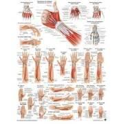 Anatomia człowieka MIĘŚNIE RĘKI poster 50x70cm Rudiger Anatomie - 1 | klubfitness.pl | sprzęt sportowy sport equipment