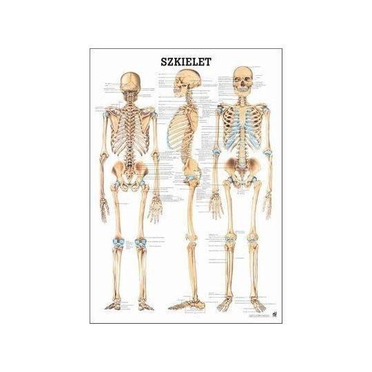 Anatomia człowieka SZKIELET CZŁOWIEKA poster 70x100cm język polski Rudiger Anatomie - 1 | klubfitness.pl | sprzęt sportowy sport