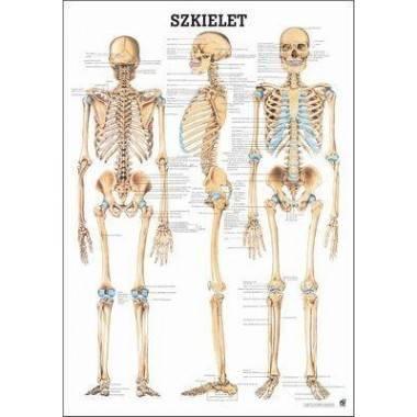 Anatomia człowieka SZKIELET CZŁOWIEKA poster 70x100cm język polski,producent: RUDIGER ANATOMIE, photo: 1