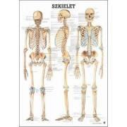 Anatomia człowieka SZKIELET CZŁOWIEKA poster 70x100cm język polski Rudiger Anatomie - 1 | klubfitness.pl