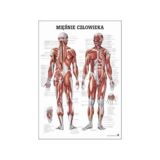 Anatomia człowieka UKŁAD MIĘŚNIOWY MĘŻCZYZNY poster 70x100cm język polski,producent: Rudiger Anatomie, zdjecie photo: 1 | online