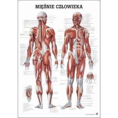 Anatomia człowieka UKŁAD MIĘŚNIOWY MĘŻCZYZNY poster 70 x 100 cm język polski,producent: RUDIGER ANATOMIE, photo: 1