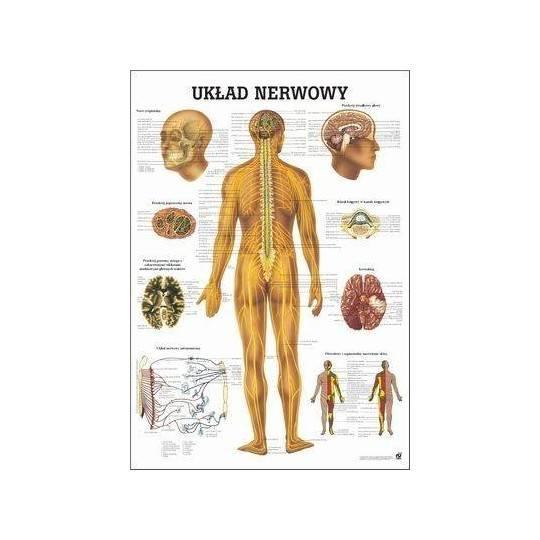 Anatomia człowieka UKŁAD NERWOWY CZŁOWIEKA poster 70 x 100 cm język polski Rudiger Anatomie - 1 | klubfitness.pl