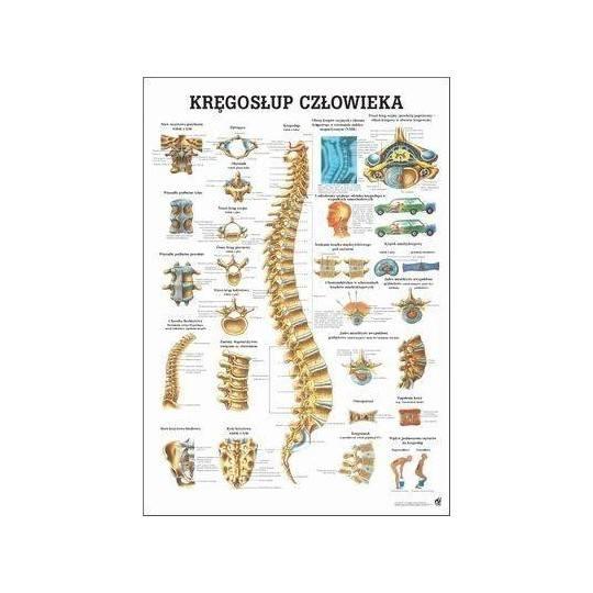 Anatomia człowieka KRĘGOSŁUP CZŁOWIEKA poster 70 x 100cm język polski,producent: RUDIGER ANATOMIE, photo: 1