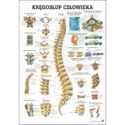 Anatomia człowieka KRĘGOSŁUP CZŁOWIEKA poster 70x100cm język polski Rudiger Anatomie - 1 | klubfitness.pl