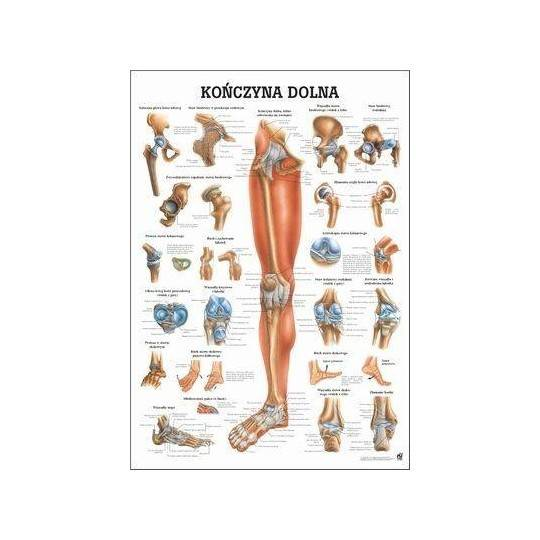 Anatomia człowieka KOŃCZYNA DOLNA CZŁOWIEKA poster 70 x 100 cm język polski,producent: RUDIGER ANATOMIE, photo: 1