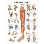 Anatomia człowieka KOŃCZYNA DOLNA CZŁOWIEKA poster 70 x 100 cm język polski Rudiger Anatomie - 1 | klubfitness.pl