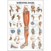 Anatomia człowieka KOŃCZYNA DOLNA CZŁOWIEKA poster 70 x 100 cm język polski,producent: Rudiger Anatomie, zdjecie photo: 1 | onli