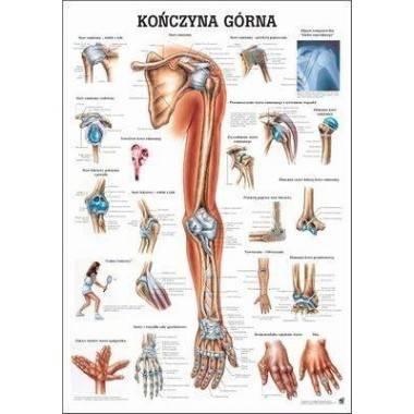 Anatomia człowieka KOŃCZYNA GÓRNA CZŁOWIEKA poster 70x100cm język polski,producent: RUDIGER ANATOMIE, photo: 1