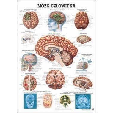 Anatomia człowieka MÓZG CZŁOWIEKA poster 70x100cm język polski,producent: RUDIGER ANATOMIE, photo: 1