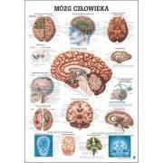 Anatomia człowieka MÓZG CZŁOWIEKA poster 70x100cm język polski Rudiger Anatomie - 1 | klubfitness.pl