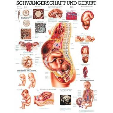 Anatomia człowieka CIĄŻA I PORÓD poster 70x100cm język polski,producent: RUDIGER ANATOMIE, photo: 1
