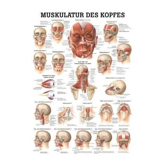 Anatomia człowieka Mięśnie Głowy | poster 50x70cm język angielski Rudiger Anatomie - 1 | klubfitness.pl | sprzęt sportowy sport