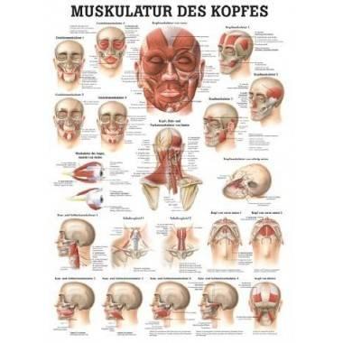 Anatomia człowieka Mięśnie Głowy | poster 50x70cm język angielski,producent: Rudiger Anatomie, zdjecie photo: 1 | online shop kl