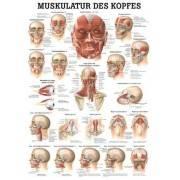 Anatomia człowieka Mięśnie Głowy | poster 50x70cm język angielski Rudiger Anatomie - 1 | klubfitness.pl