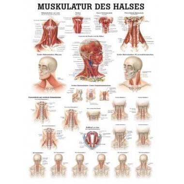 Anatomia człowieka MIĘŚNIE SZYI poster 50x70cm,producent: RUDIGER ANATOMIE, photo: 1