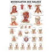 Anatomia człowieka Mięśnie Karku | poster 50x70cm język angielski Rudiger Anatomie - 1 | klubfitness.pl