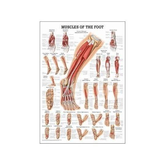 Anatomia człowieka MIĘŚNIE STOPY poster 50x70cm,producent: Rudiger Anatomie, zdjecie photo: 1   online shop klubfitness.pl   spr
