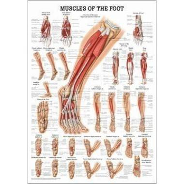 Anatomia człowieka MIĘŚNIE STOPY poster 50x70cm,producent: RUDIGER ANATOMIE, photo: 1