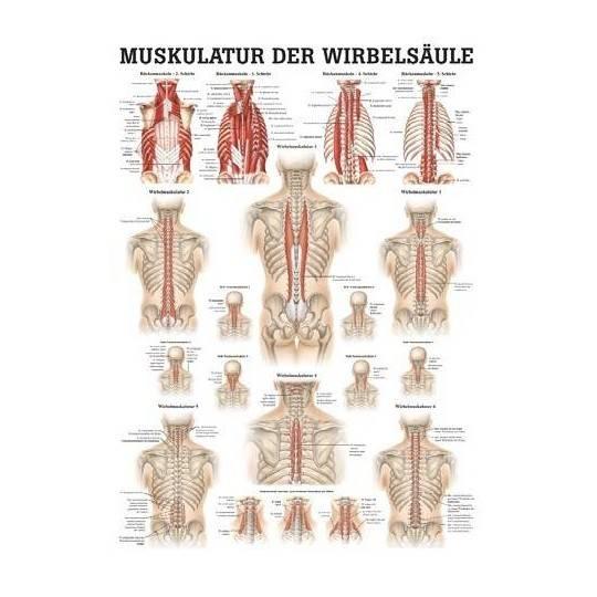 Anatomia człowieka MIĘŚNIE KRĘGOSŁUPA poster 50x70cm,producent: Rudiger Anatomie, zdjecie photo: 1   online shop klubfitness.pl