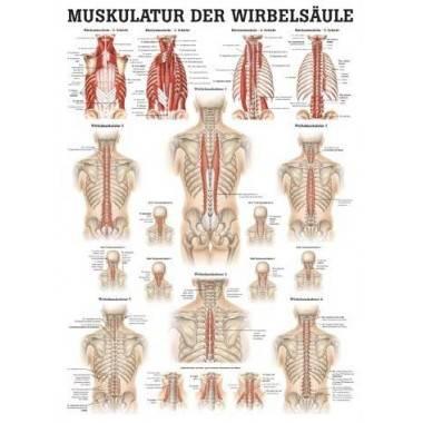 Anatomia człowieka MIĘŚNIE KRĘGOSŁUPA poster 50x70cm,producent: RUDIGER ANATOMIE, photo: 1